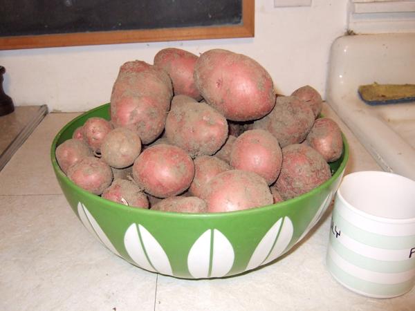 2012 potato harvest