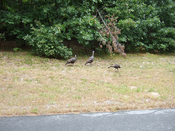 wild turkeys in Pepperell, MA