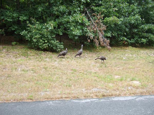 wild turkeys in Pepperell, MA